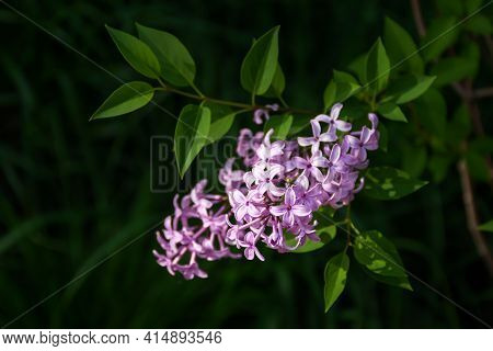 A Beautiful Lilac Bush Blooms In The Spring In The Garden, Park. A Sprig Of Lilac On A Blurry Backgr