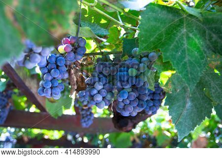 Many Bunches Of Ripe Red Grape At Vine Outdoor Harvesting Season Concept . Close Up Shot With Copy S