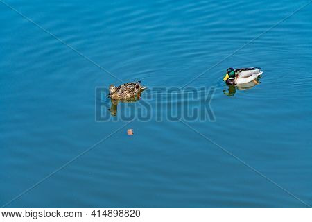 Birds Swim On The Water, A Duck And A Drake Swim Side By Side In A Clean Reservoir