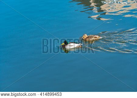 A Duck And A Drake Swim Side By Side In A Clean Reservoir, Birds Swim On The Water