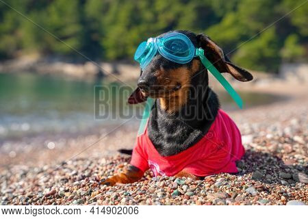 Funny Dachshund Puppy With Diver Goggles In Pink Clothes Poses For Camera On Rocky Sea Beach On Sunn