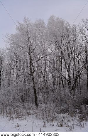 Winter Forest In Overcast Day. Trees Covered By Hoarfrost.
