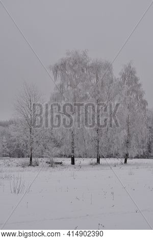 Winter Scene With Birch Trees In Hoarfrost. Gray Cloudy Day