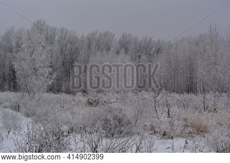 Winter Landscape With Trees And Herbs Covered By Hoarfrost. Snowy Overcast Day.