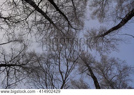Forest In Winter. View From Below On Tall Birch Trees Tops In Hoarfrost