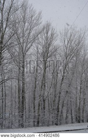 Winter Snowfall. Alley Of Poplar Trees Covered By Snow