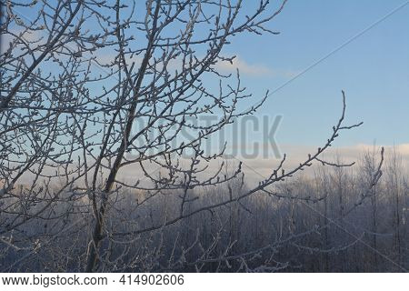 Poplar Tree Branches Covering By Hoarfrost On The Background Of Snowy Forest In Winter