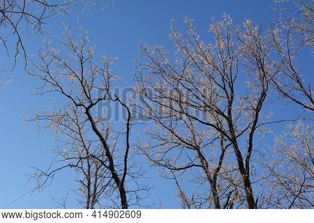 Beautiful Oak Trees In Winter. Branches Covering By Hoarfrost On The Background Of Blue Sky
