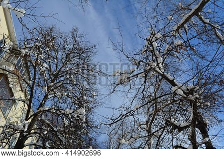Winter In The City. View From Below On Trees Covered By Fresh Snow