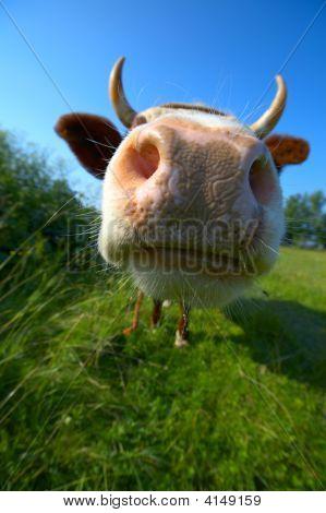 Close Up Cow's Mug