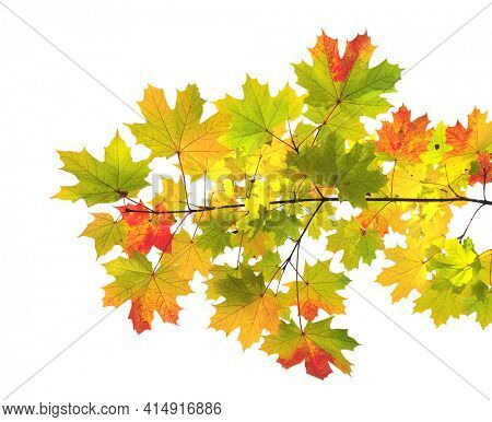Branch of maple with leaves of green, yellow and red color. Autumn maple leaf. Isolated on white background