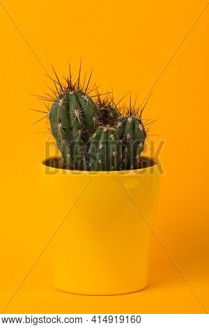 Small Stetsonia coryne cactus in yellow flower pot on yellow background