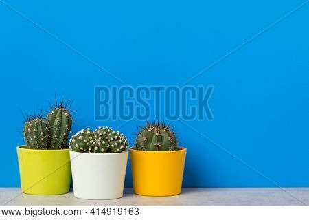 Three cactus plants in flower pots on a shelf with copy space on vibrant blue background