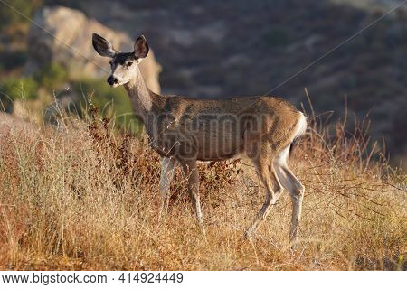 Wary Mule Deer at Rocky Peak Park in the Santa Susana Mountains near Los Angeles and Simi Valley, California.