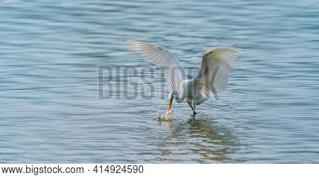 Great egret on the lake eating fish