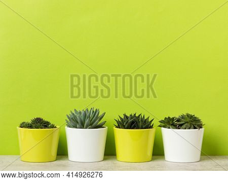 Four flower pots with succulents and houseleeks on a shelf at vibrant green wall, large copy space above