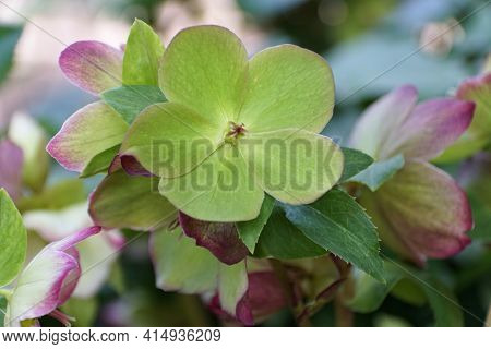 A Close Up Of A Lime Green Hellebore Flower At Full Bloom