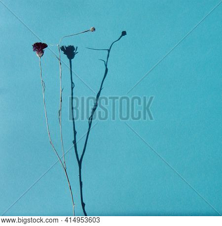 Black Dry Field Flower On An Isolated Background, The Shadow Of The Flower Adds Volume To The Photo