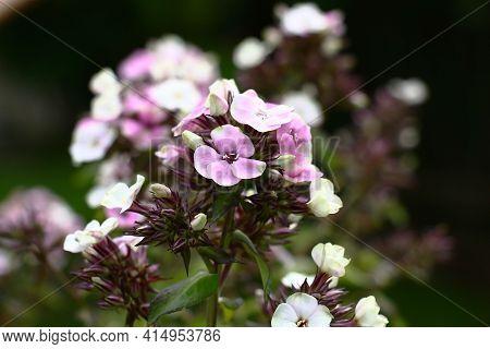 Phlox Paniculata. Grade Sherbet Blend. Inflorescences Begin To Blossom. In Total Against A Dark Back