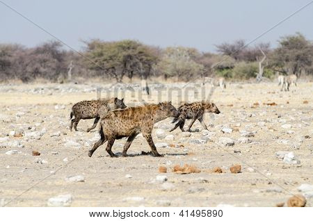 Spotted hyena in the savannah