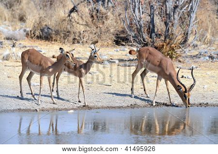 Black-faced impalas at a watering hole