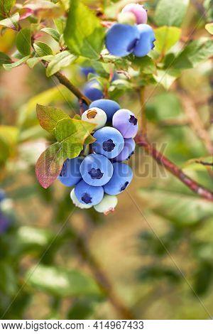 Fresh Organic Blueberries On The Bush. Vivid Colors. Organic Garden. Garden Blueberries Delicious, H