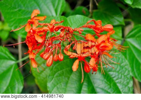 Java Glorybower Latin Name Clerodendrum Speciosissimum Flowers Used For Some Medical Ailments