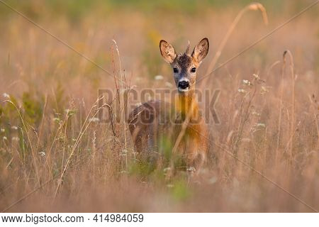 Young Roe Deer Buck Looking To The Camera On Dry Field In Summer