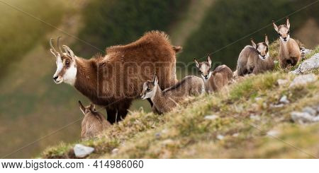 Bunch Of Tatra Chamois Standing On Horizon In Alpine Mountains