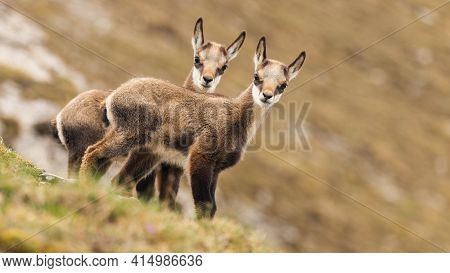 Two Young Tatra Chamois Kids Looking To The Camera On A Meadow In Spring