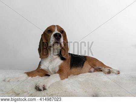 Little Beagle Dog Isolated On White Background