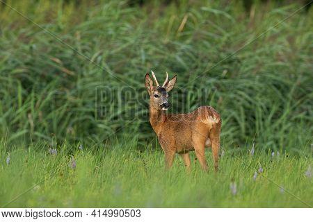 Young Roe Deer Buck Standing Alert On Meadow In Summertime Nature