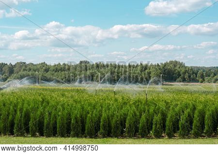 Irrigation Of Thuja Growing In The Nursery