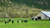 Cattle grazing in a field with a barn in view. poster