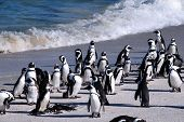 The African Penguins (also known as the Black-footed Penguins) at Boulder Beach of Atlantic Ocean(Capetown South Africa) poster