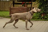 The photo shows Weimaraner - handling on natural background. poster