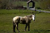 old grey mare in front of covered bridge ** Note: Slight blurriness, best at smaller sizes poster