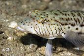 speckled sandperch (parapercis hexoppthalma)taken in the red sea. poster