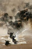 More than a million wildebeests migrates every year between Masai Mara NP and Serengeti NP. In their journey they cross several times Mara River even some hundred thousands a time. poster