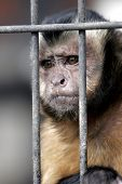 close-up of a hooded capuchin monkey contemplating life behind bars in a big city zoo, captive setting (shallow focus). poster