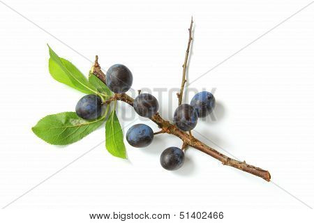 Sloes - Fruits of blackthorn (Prunus spinosa) isolated against white background poster
