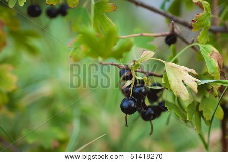 black currant bunch hanging on a branch