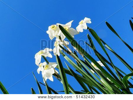 White flowerses narcissuses grow summer on flowerbed in garden