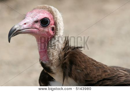 close up of a hooded vulture starring in the camera poster