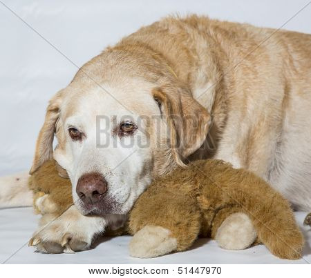 Yellow Labrador older dog.