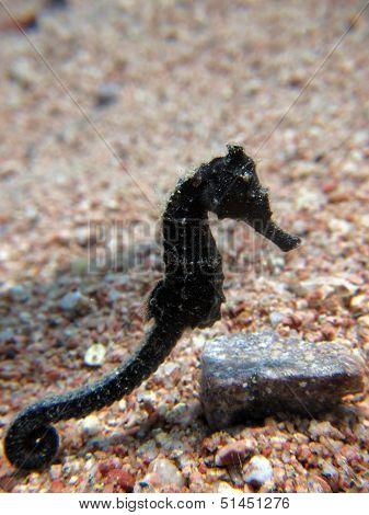 Black seahorse
