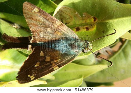 Blue and Brown Moth on a Leaf