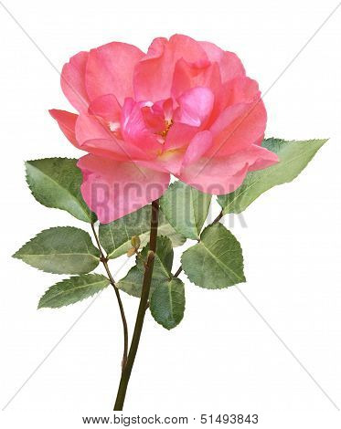Pink Rose On Stem With Leaves On White