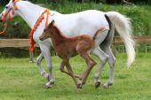 10 days old arab thoroughbred foal running outside for the first time poster