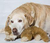 Yellow Labrador older dog. poster